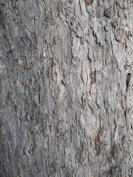 White Oak Tree Bark Trees Identification Flashcards By Proprofs