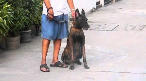 belgian sheepdog puppies price belgian malinois mating philippines youtube