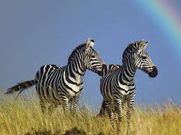 wildlife zebra hd wallpaper 2012