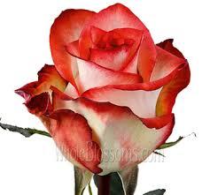 bulk roses bicolor roses buy roses in bulk