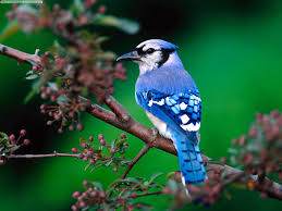 blue jay birds singing in the forest youtube
