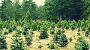 christmas trees could be in short supply this winter