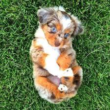 mini australian shepherd 7 weeks animal life on twitter