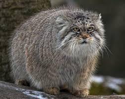 манул - млекопитающее из семейства кошачьих
