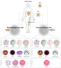 what are stem cells stem cells studies and researches