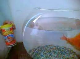 Goldfish In A Vase How To Take Care Of A Gold Fish Youtube