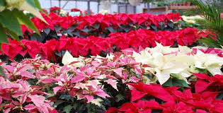Pointsettia Poinsettias Care Maintenance And Re Blooming Pesche U0027s