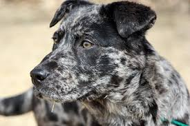 australian shepherd x pitbull catahoula leopard dog temperament u2013 you can u0027t touch this u2026