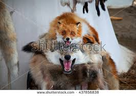 stuffed foxes wolf skins dead fox stock photo 437856838