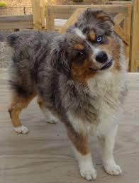 australian shepherd service dog toy australian shepherd for stud service in hoobly classifieds