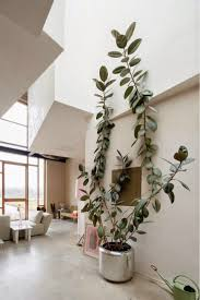 rubber plant this easy to grow indoor house plant will grow into