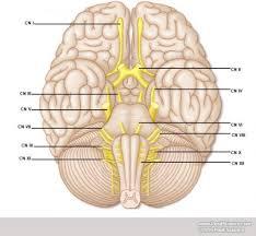 Cranial Nerves Worksheet Blank Heart Diagram Blank Free Image About Wiring Diagram
