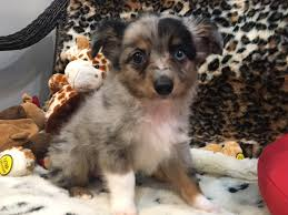 australian shepherd yorkie mix for sale puppies for sale pet stores palm beach boca raton fort