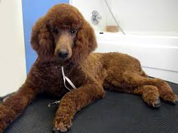 standard poodle hair styles one fine canine pictures