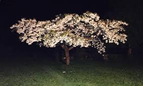 white cherry blossom great white cherry trees buy online ashridge nurseries