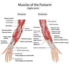 Basic Shoulder Anatomy Wrist Strengthening We Can Learn To Take Care Of Our Wrists By