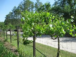 Grape Trellis For Sale Southern Home Hybrid Grape Vine Just Fruits And Exotics
