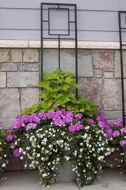 excellent trellis flowers in a purple clematis vine climbs a
