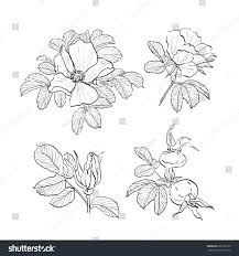 dogrose drawing flowers handdrawn wild rose stock vector 666161230