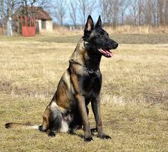 belgian malinois k9 attack all dogs obedience dogs south florida high class k9 protection