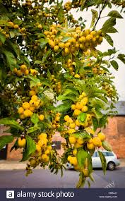 golden yellow fruit on an ornamental crab apple tree featuring in