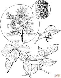 flowering dogwood tree coloring page free printable coloring pages