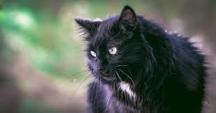 100 black cat black cat halloween vs stock by astoko on