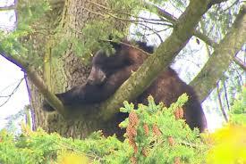 black climbs tree near school prompts hours stand