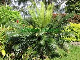 40 best tropical nut ornamental shade palm trees images on