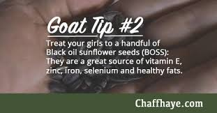 supplementing your goats with black oil sunflower seeds chaffhaye
