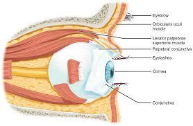 Picture Of Eye Anatomy 14 1 Sensory Perception Anatomy And Physiology