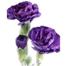 purple carnations purple mini carnations carnations wholesale carnations bulk