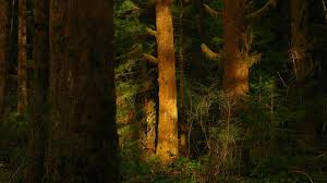 forests nature trees sunshine redwoods forest desktop