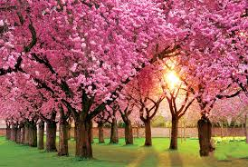 pink trees flowering trees small ornamental trees for your