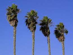 free picture palm tree leaves