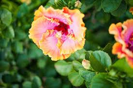 Hawaiian Flowers And Plants - hawaii u0027s popular tropical flowers and how to wear them