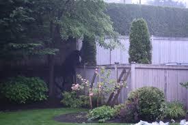 momma black bear and cubs jump backyard fence on cascade ave to