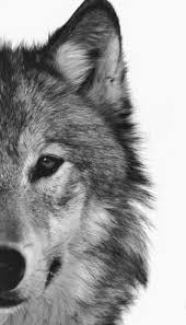 imagenes de fondo de pantalla lobos pin de katerina tze en λύκοι pinterest lobos fondos y fondo
