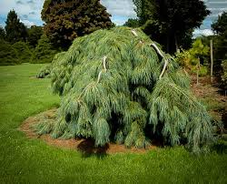 white pine trees white weeping pine for sale the tree center