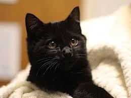 black friday pet adoption seattle humane u0027s black friday deal free black cats bellevue wa