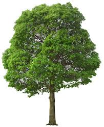 large green tree png picture gallery yopriceville high quality
