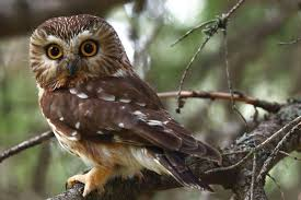 an owl trapped in a tree once traveled from oregon into