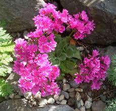 alaska native plants progressive alaska mid june garden pictures