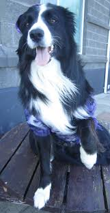 funny dog costumes halloween 254 best halloween pictues gothic asha the border collie images on