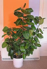 Plants That Need Low Light Growing Rubber Plant Ficus Elastic Indoors