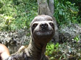 Make A Sloth Meme - best sloth ever post from r sloths imgur
