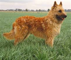 belgian shepherd 4 types belgian shepherd laekenois know about temperament health