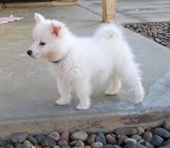 miniature american eskimo dog life expectancy american eskimo dog u2013 doginfo411 com