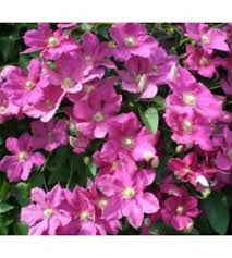 clematis balkon late large flowered fruttii nursery plants