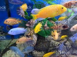 image of malawi cichlids in tropical aquarium fish tank
